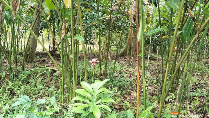 Pokok Bunga Kantan. Trademark Jalan Masuk ke Disiniland Agrofarm, Batu Kurau