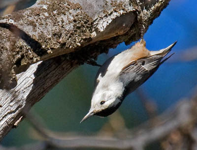 Photo of White-breasted Nuthatch crawling on the underside of a branch