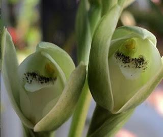 Orquídea del talar