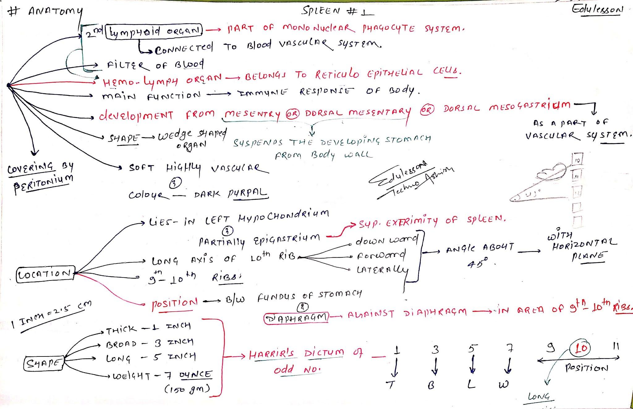 Anatomy of Spleen 1 - About spleen, Location, Shape, Size (EduLesson)