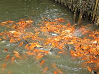 memberi makan ikan