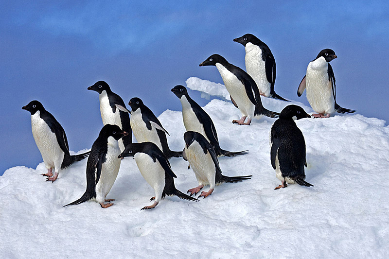 Lovely Animals Blog: Important Facts About Adelie Penguin