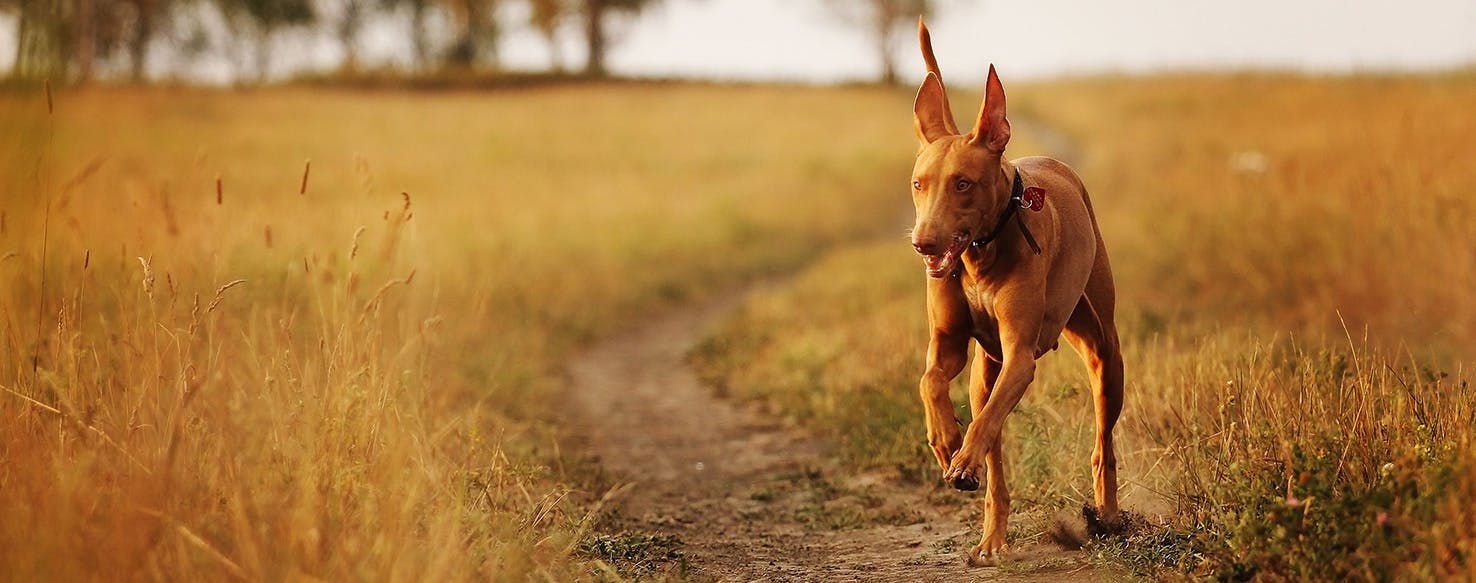 Pharaoh Dog with happy grin runs in a field with his ears flapping
