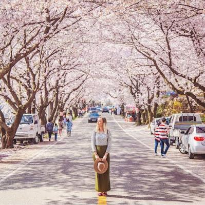 Musim Semi Di Korea Waktunya Jalan – Jalan dan Festival