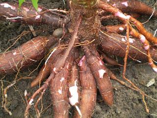 buah ubi kayu