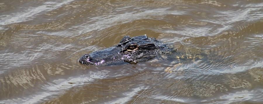 Alligator en Lake Jesup. Se dice que este es el lago con más caimanes del mundo. La cifra rondaría los 10.000 ejemplares