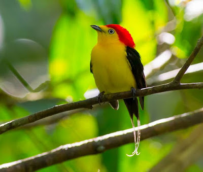 Manakin - animals that start with the letter