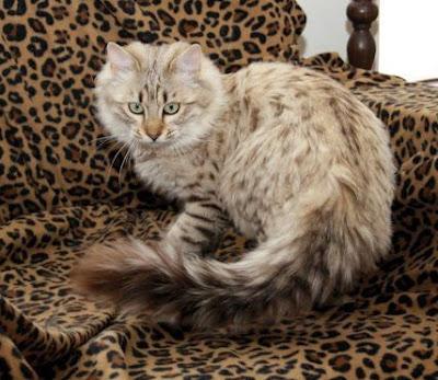 Kucing Cashmere