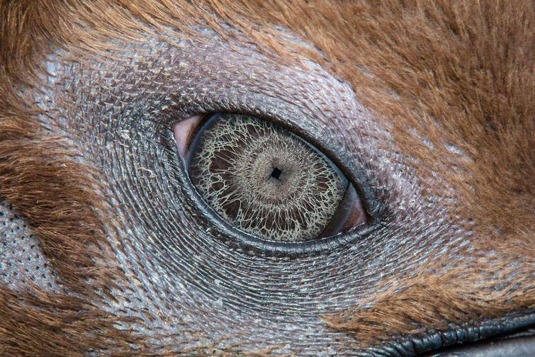 This is the eye of the king penguin.