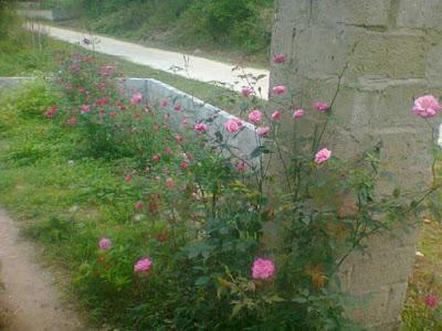 cây hoa hồng quế kép