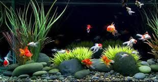 Cara Mudah Membedakan Ikan Mas Koki Jantan Dan Betina