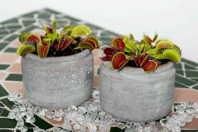 Venus Flytrap in Pot