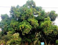 Mango tree with fruits, Honolulu, HI
