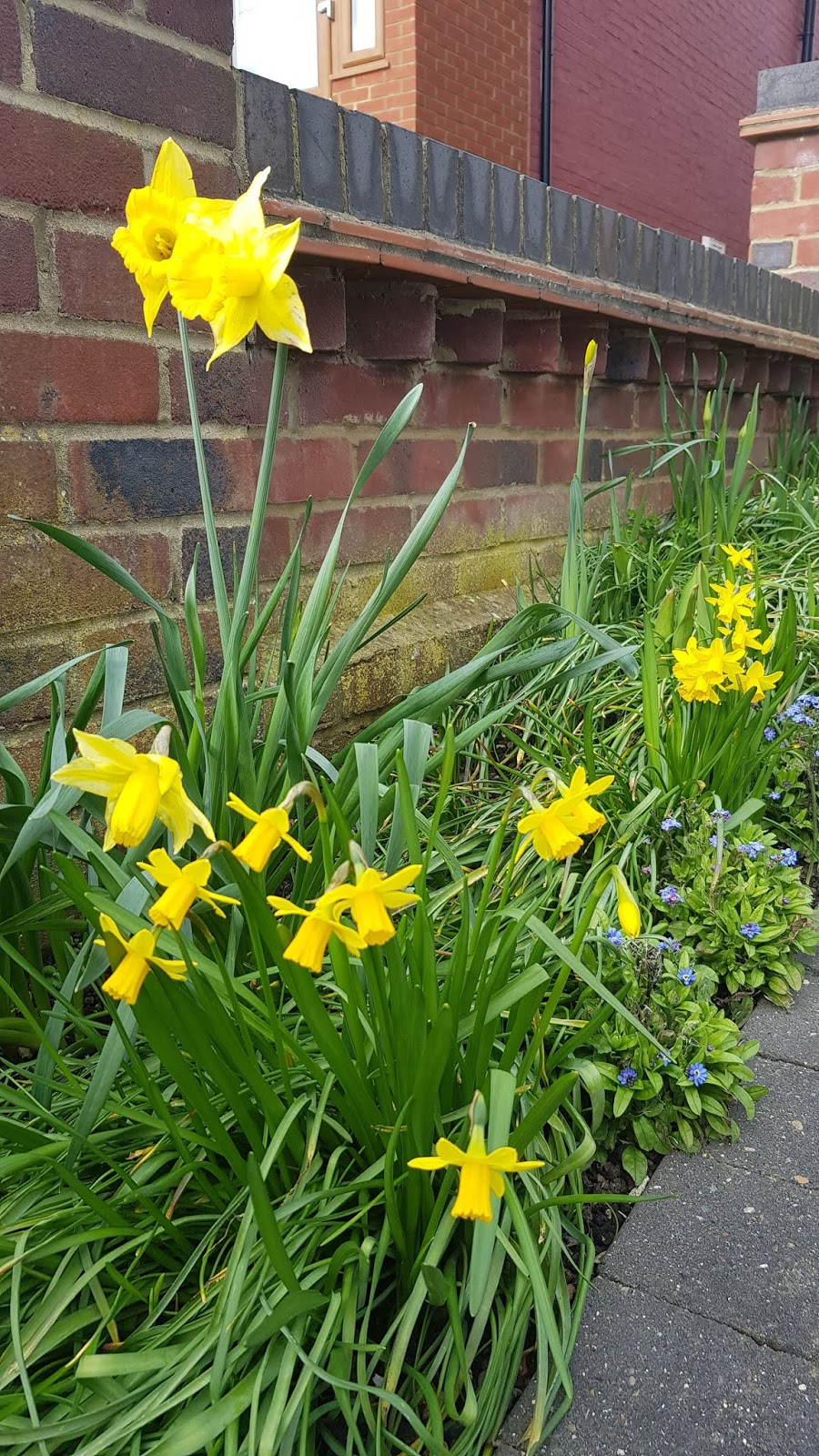 Mixed daffodils blooming, London Feb 2020