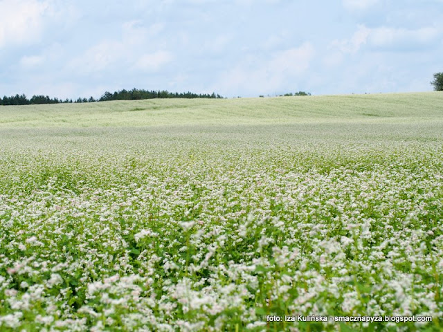 gryka jak snieg biala, uprawy, podlasie, kwiaty gryki, rosliny jadalne, pola uprawne, kasza gryczana