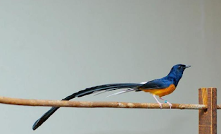 Harga Burung Murai Medan