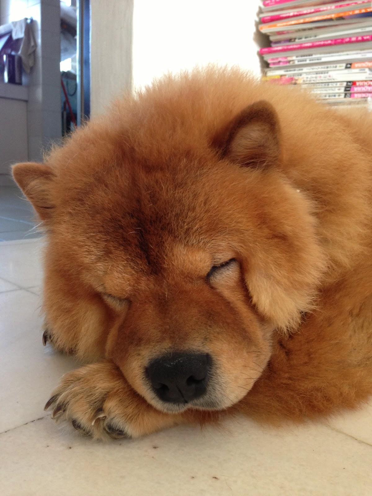 Resultado de imagen para chow chow sleeping