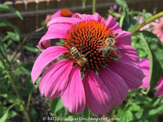Bienen auf Sonnenhut