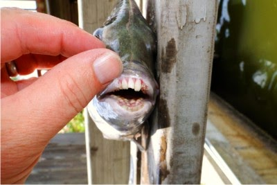 sheepshead teeth