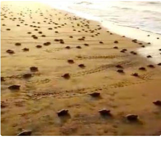 Thousands of Olive Ridley turtles head to sea after hatching