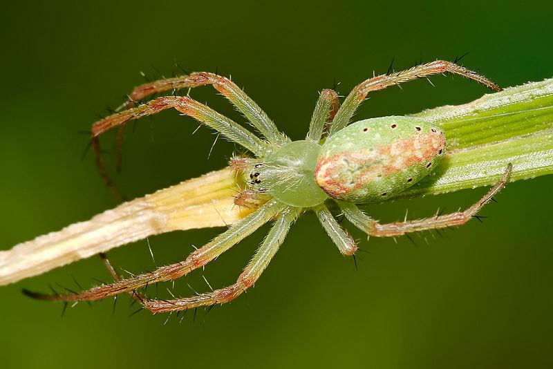 Arachnids: Green tent spider