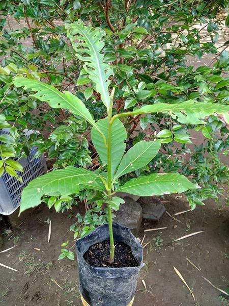bibit pohon buah kalangkala