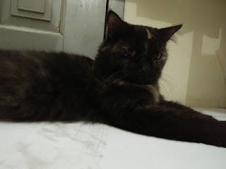 kucing juminten, kucing jenis siberia
