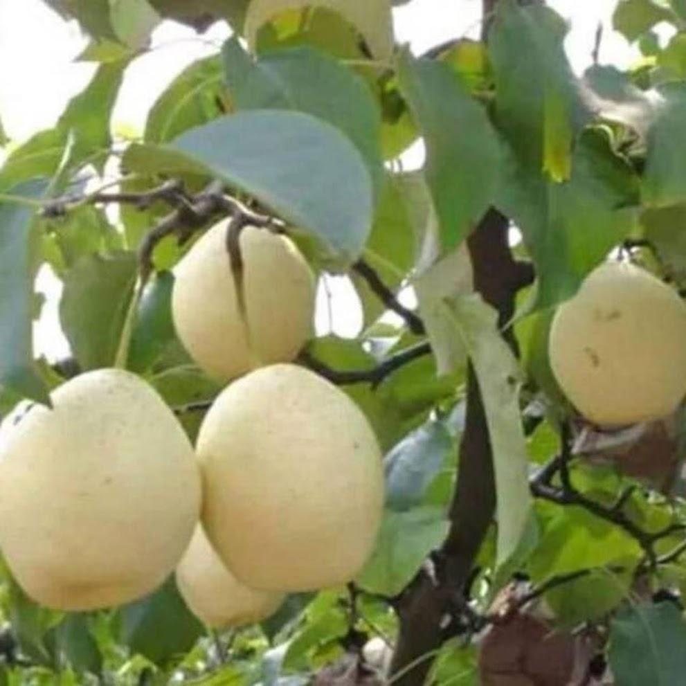 Bibit buah pir Hasil cangkok cepat berbuah Bekasi