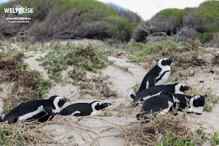 Many penguins at Boulders Beach in Simon's Town, Cape Town, South Africa. Colony of Spectacled Penguins. World trip world travel