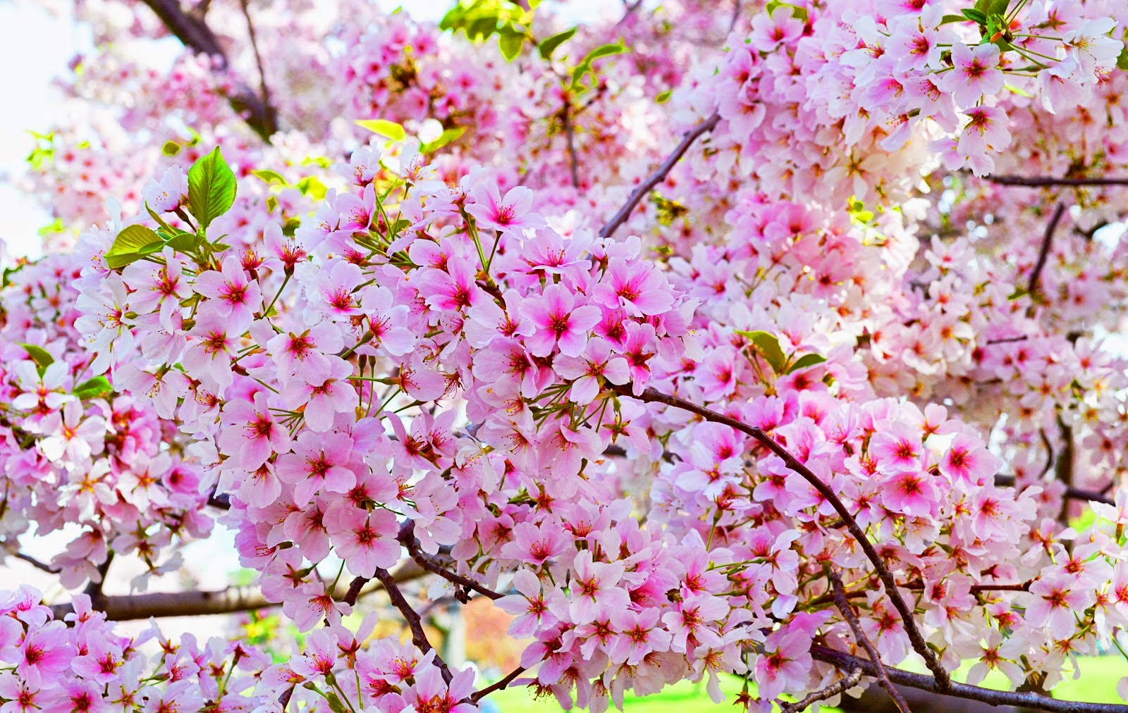 Gambar Wallpaper Bunga Sakura Jepang A1 Wallpaperz For You