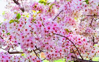 Gambar Bunga Sakura Paling cantik di Jepang 6000