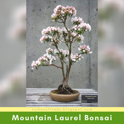 Mountain Laurel Bonsai