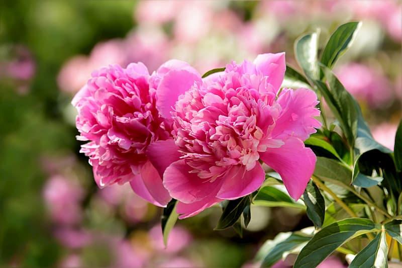 Flores de peonía