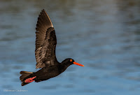 African oystercatcher - Birds In Flight Photography Cape Town with Canon EOS 7D Mark II Copyright Vernon Chalmers