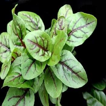 अंबाडेची भाजी, sorrel leaves vegetables name in Marathi
