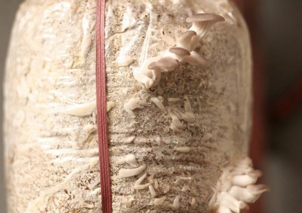 Kỹ thuật trồng nấm bào ngư & Cách trồng nấm sò tại nhà