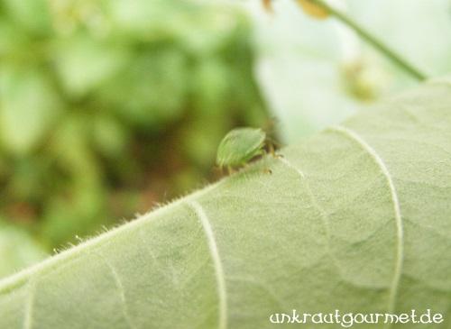Käfer auf Nachtkerzenblatt
