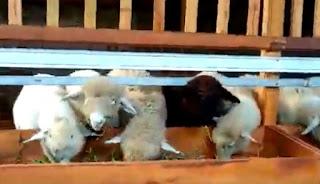tempat makan kambing domba merino