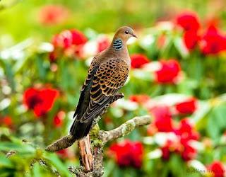 Oriental turtle dove - Streptopelia orientalis