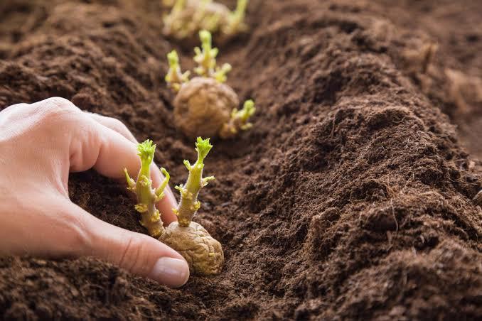 બટાટાની ખેતી : બટાટાના બીજ