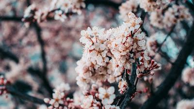 Free wallpaper Sakura, pink flowers, spring