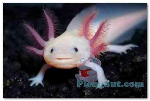 Naga air axolotl dengan tubuh mirip hewan legenda menjadikan salamander tersebut paling banyak diminati pecinta hewan sebagai binatang air peliharaan