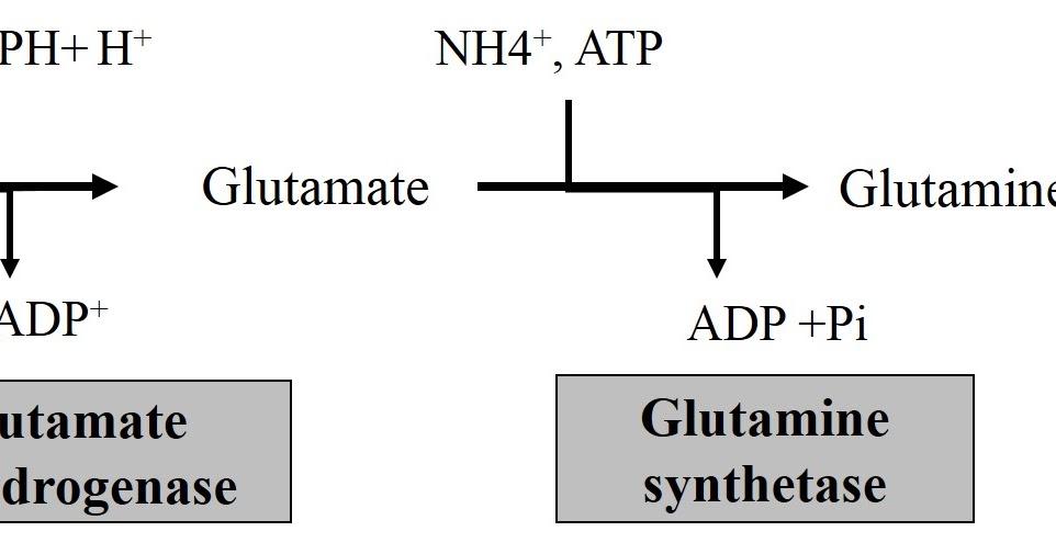 Amino Acid Metabolism and Aminoacidurias : MCQ ~ BASIC