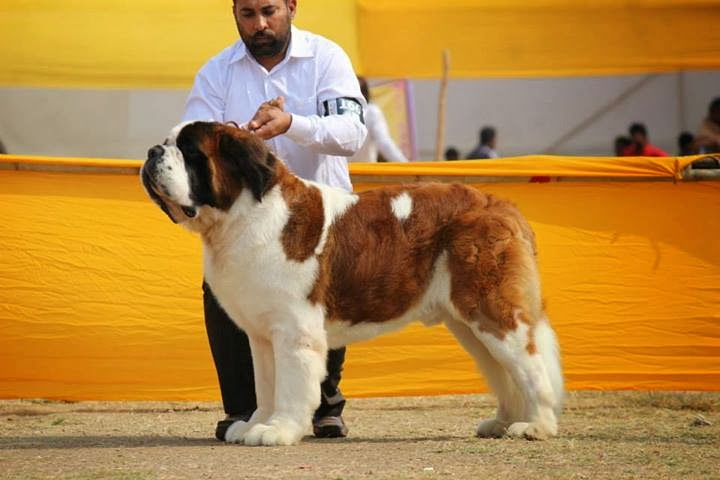 Kulbir Kennel   Best St Beranrd Breeder in India   Kulbir Kennel