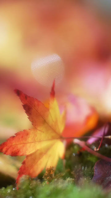Falling Leaf Wallpapers For iPhone 6 Plus Free Download