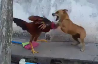Chicken Vs Dog - You haven't seen this before