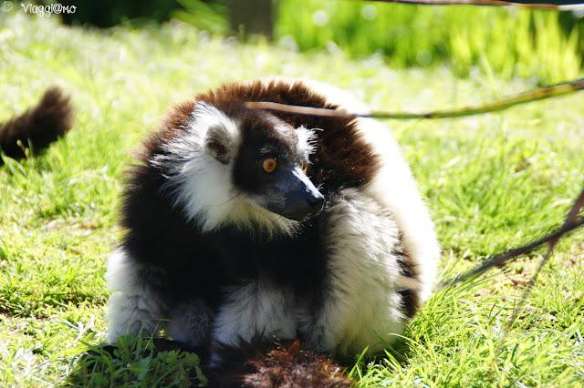 Lemuri ospiti nel parco