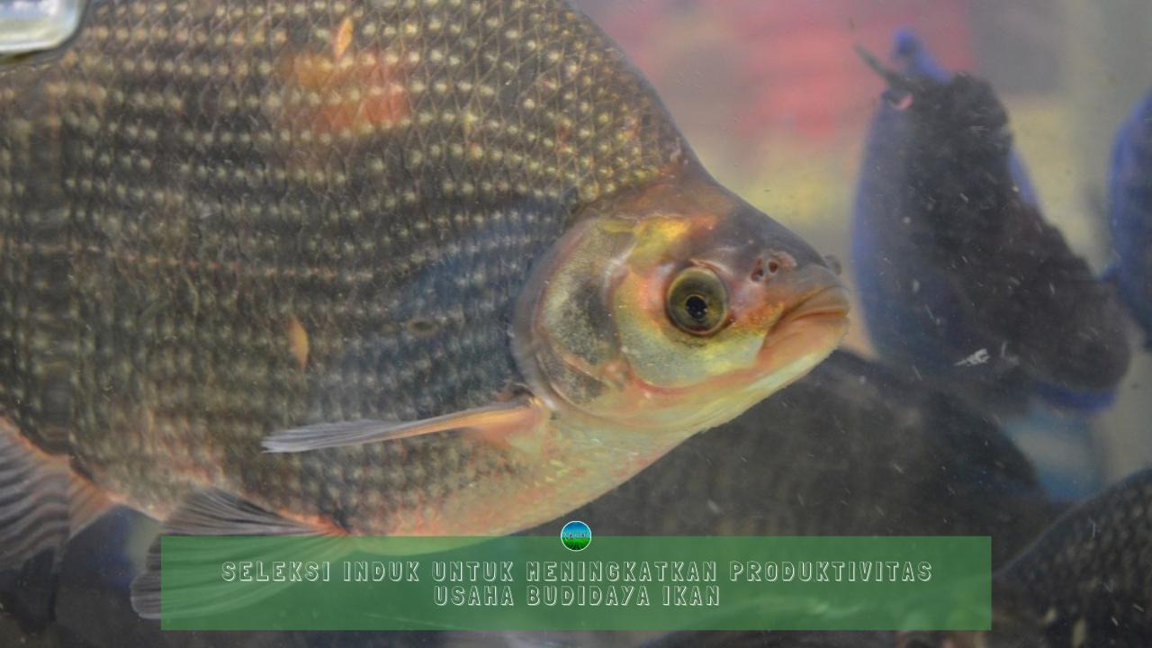 Seleksi Induk Untuk Meningkatkan Produktivitas Usaha Budidaya Ikan