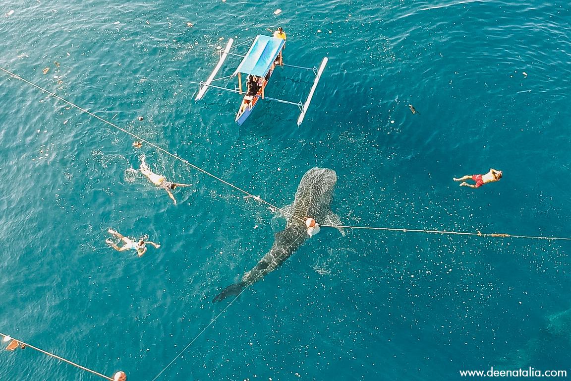 berenang bersama whale shark