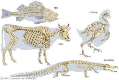 Gambar  . Endoskeleton pada hewan vertebrata